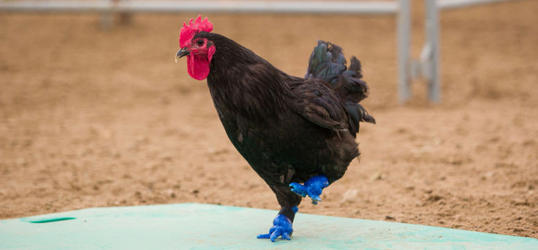 NEWS_Rooster3DFeet_Courtesy-Riley-Brandt_WEB