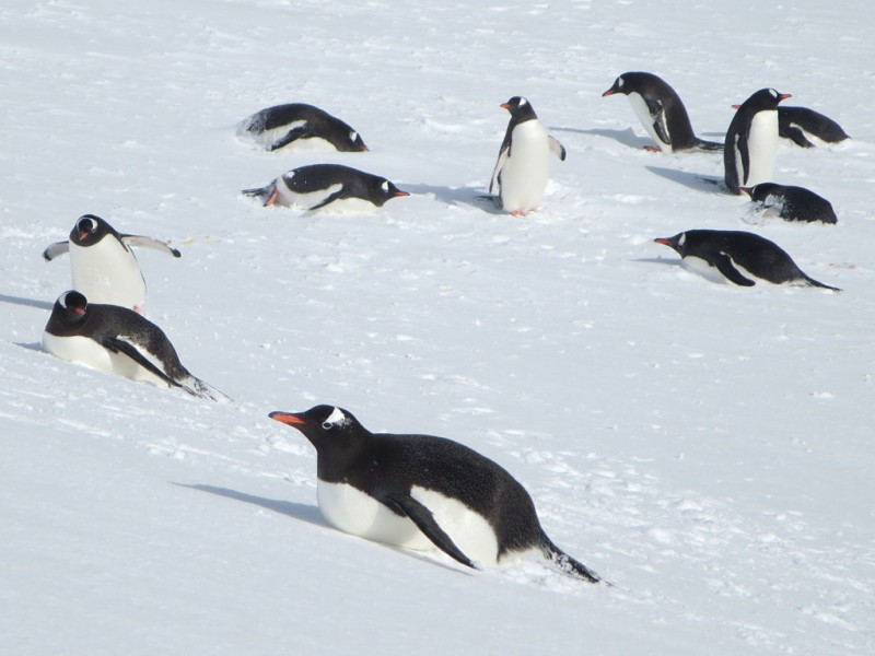 Gentoo penguins, such as these on Cuverville Island, like to slide down snowy slopes on their bellies.