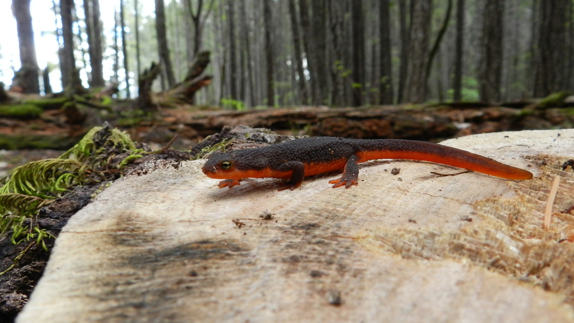 Oped_Rough-Skinned_Newt