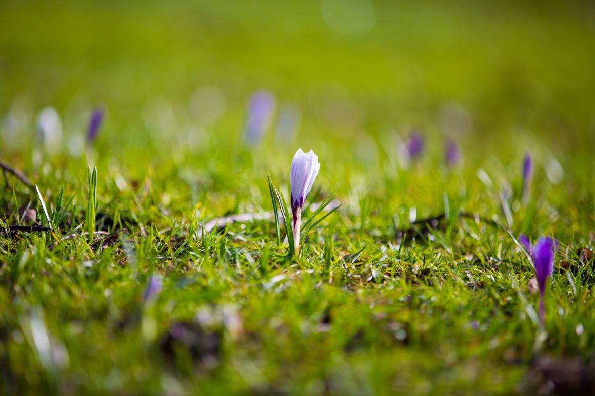 spring-flower-crocuses-1484819837ysn