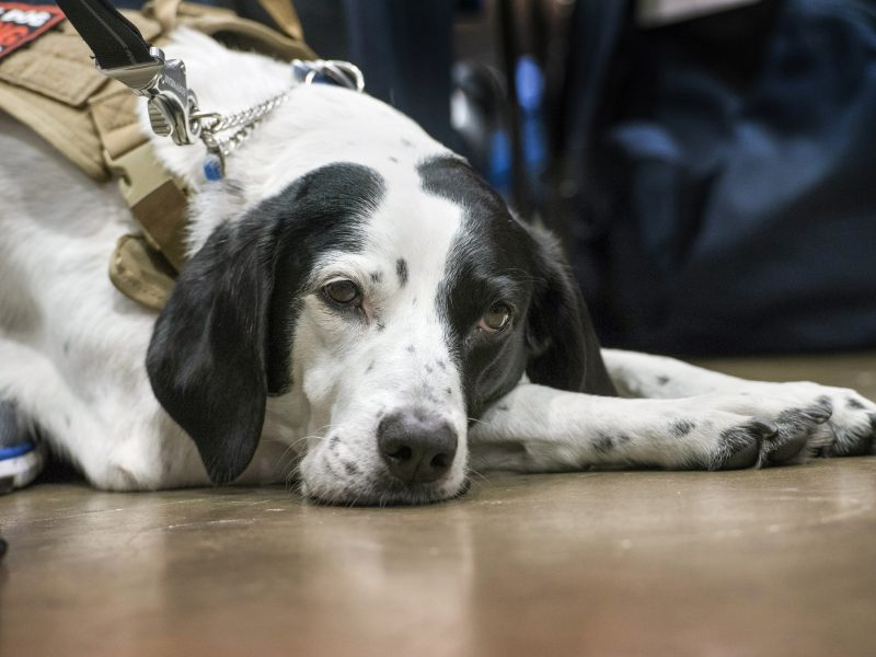 A service dog rests during the 2017 Department of Defense Warrior Games archery competition at McCormick Place in Chicago July 3, 2017. The DoD Warrior Games are an annual event allowing wounded, ill and injured service members and veterans to compete in Paralympic-style sports including archery, cycling, field, shooting, sitting volleyball, swimming, track and wheelchair basketball.    (DoD photo by Roger L. Wollenberg)